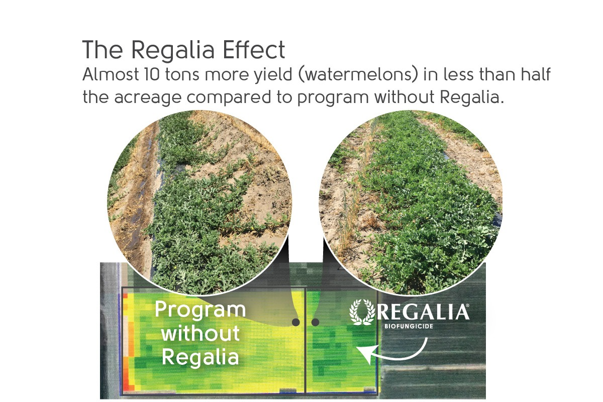 Increase watermelon yield with Regalia Biofungicide