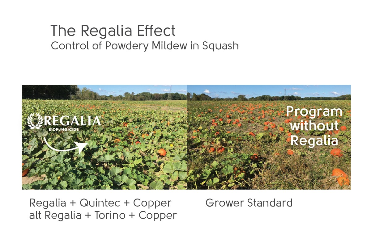 increase squash yield with Regalia